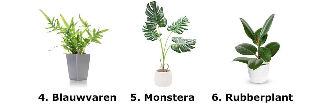 Blauwvaren, Monstera, Rubberplant