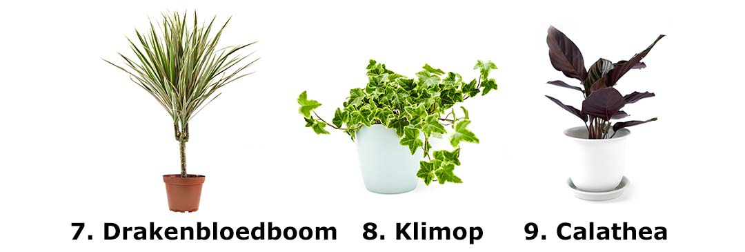 Drakenbloedboom, Klimop, Calathea
