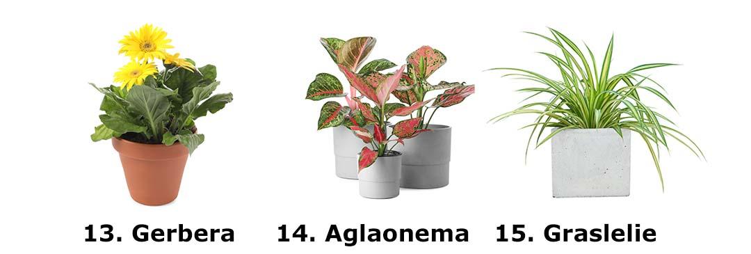 Gerbera, Aglaonema, Graslelie