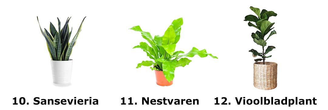 Sansevieria, Nestvaren, Vioolbladplant